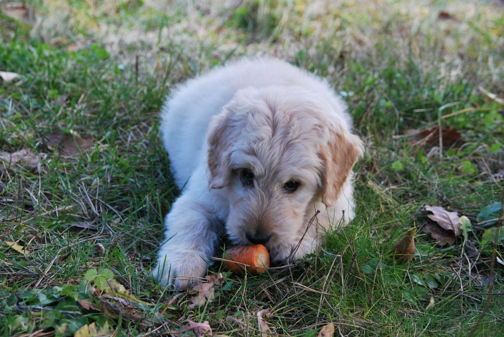 Is Vegetarian Dog Food Advisable? Read On To Find Out