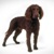 Large dog breeds - American Water Spaniels
