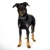 Large dog breeds - Beauceron