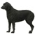 Large dog breeds - Curly Coated Retriever