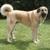 Giant dog breeds - Anatolian Shepherd
