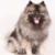 medium size dog breed - Keeshond