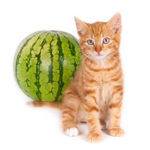 can cats eat watermelon fresh fruit or the seeds