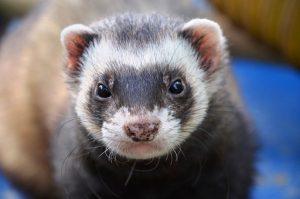 can ferrets swim
