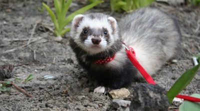 can ferrets use cat litter