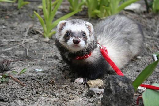 Can Ferrets Use Cat Litter?