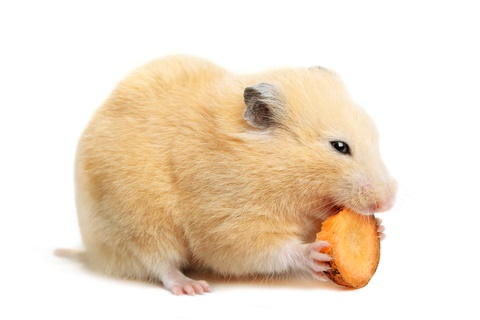 can hamsters eat carrots