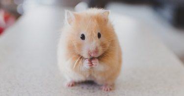 can hamsters swim