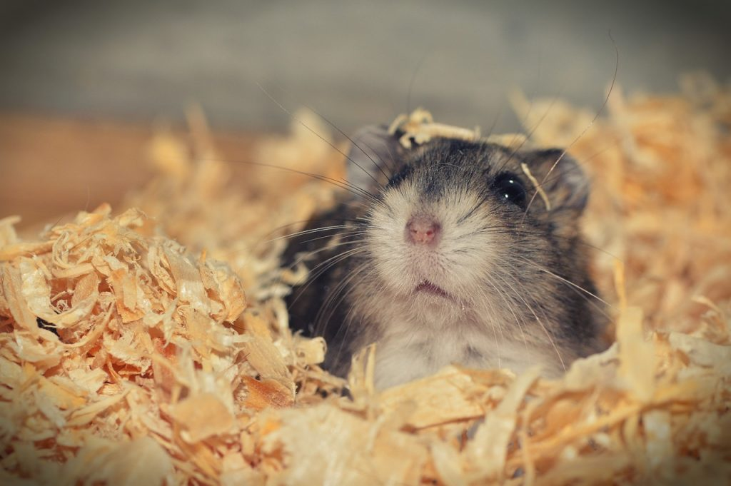 How Long Can A Hamster Go Without Food And Water?