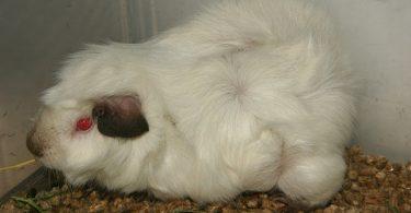 himalayan guinea pig