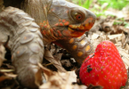 can turtles eat strawberries
