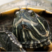 can turtles eat fish food