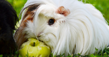 can guinea pigs eat apples