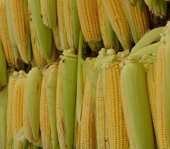 can guinea pigs eat corn