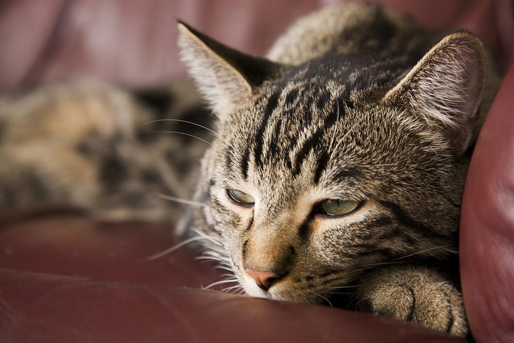 Cat Diabetes Prevention