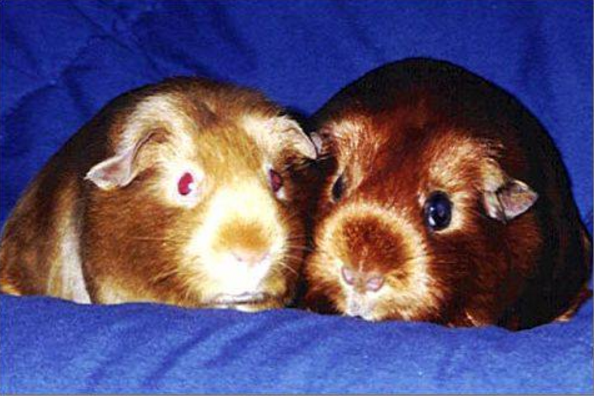 american satin guinea pig breed