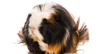 coronet guinea pig breed
