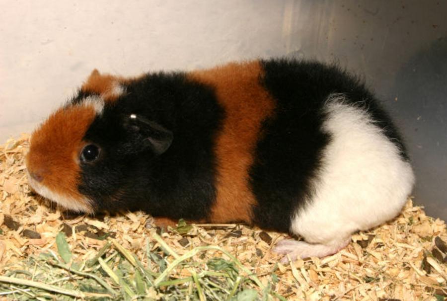 teddy guinea pig breed