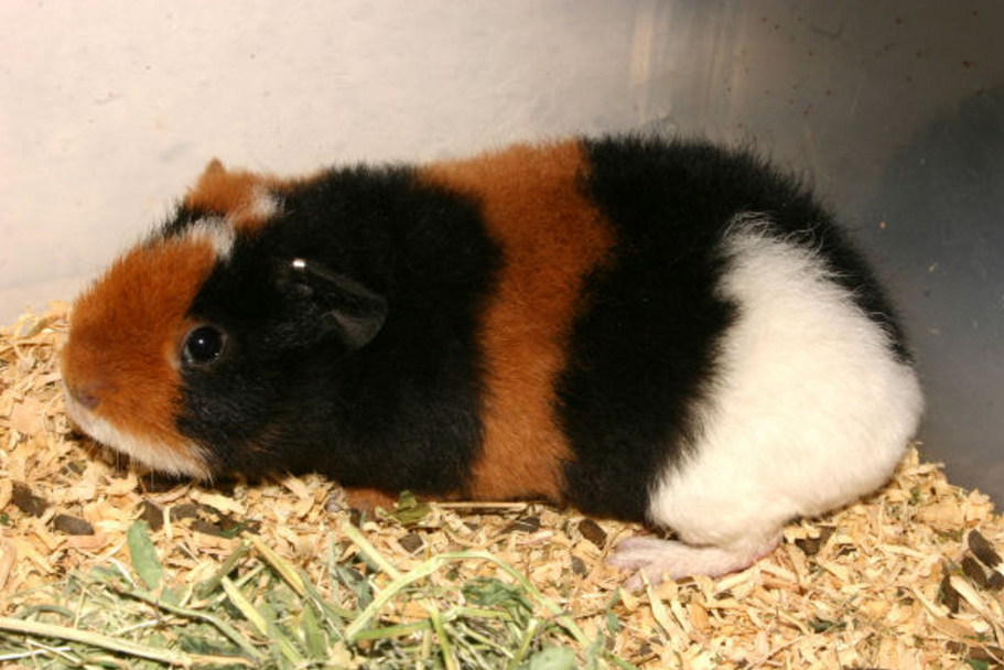 Teddy Guinea Pig Facts