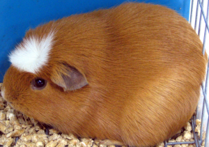 white crested guinea pig breed