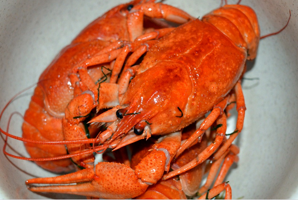 Can Dogs Eat Lobster Raw Or Cooked Is Lobster Good Or