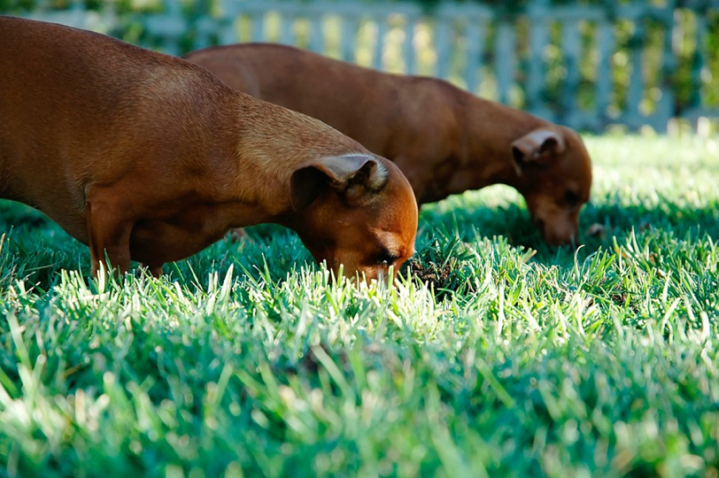 Why Do Dogs Eat Grass? And Should They Eat Grass?