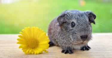 different guinea pig sounds
