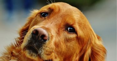 how long do dogs stay pregnant