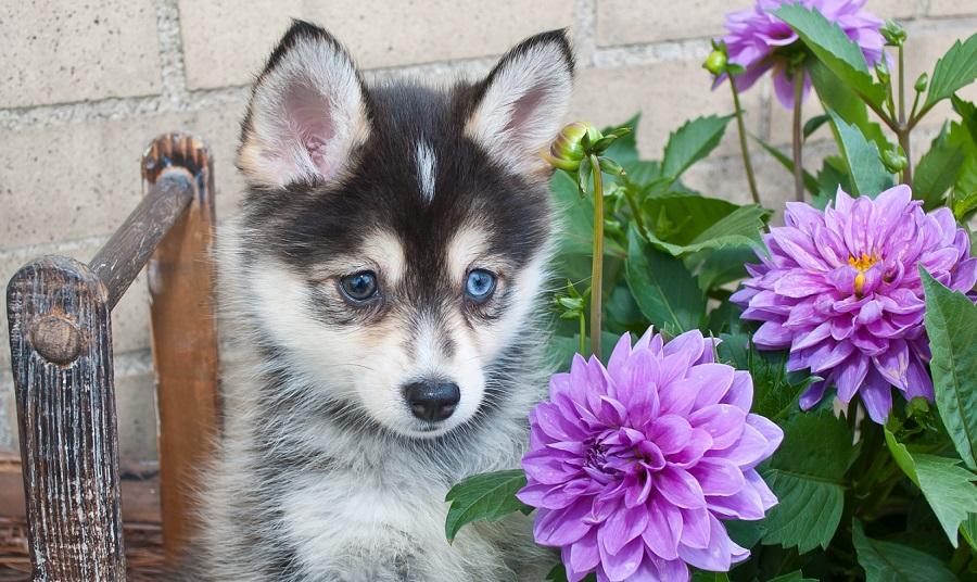 Pomeranian Husky (Pomsky): Price, Pictures, Breeders, Information
