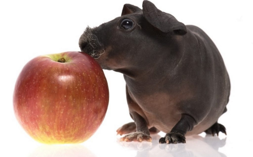 Skinny Pig: The Hairless Guinea Pig