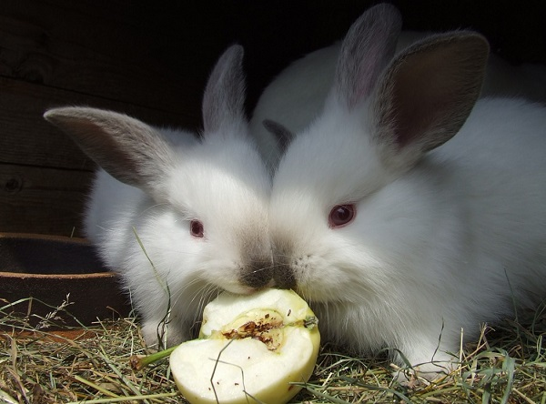 Can Rabbits Eat Apples How About Apple Seeds