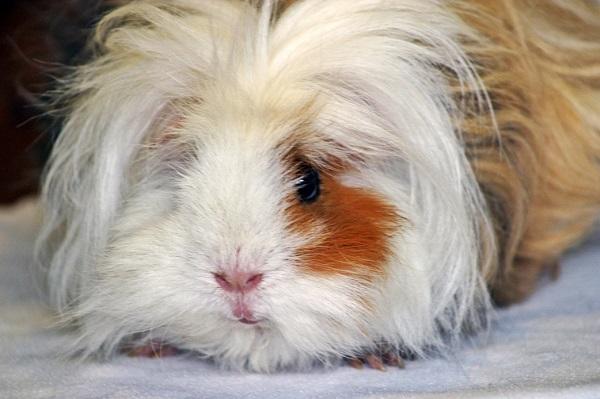 lunkarya guinea pig