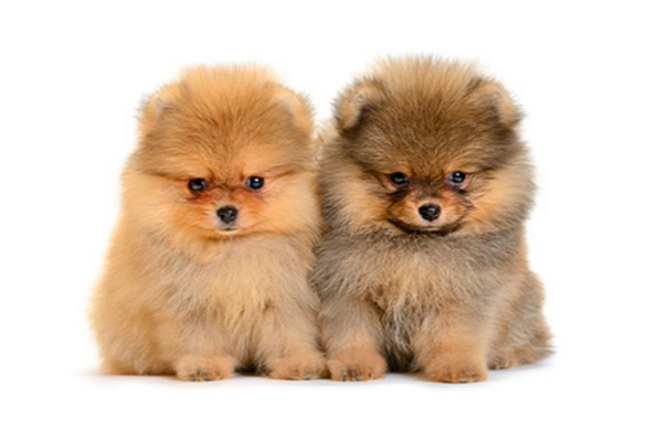 mini pomeranian puppies