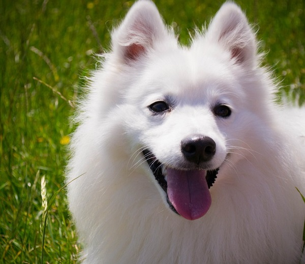Cute and Fluffy White Dog Breeds: Big and Small