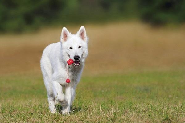 white shepherd dog