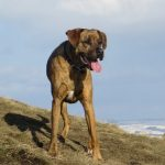 Boxer Labrador Mix