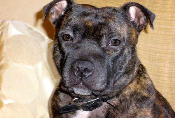 Brindle Pitbull: Characteristics, Health, Diet & Other Information