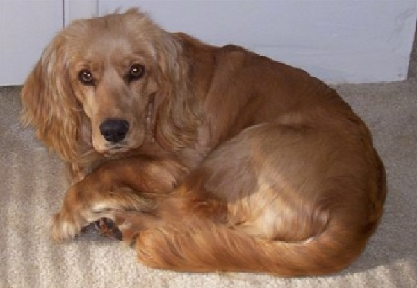 Uitzonderlijk Golden Cocker Retriever (Golden Retriever Cocker Spaniel Mix) Info @WW58