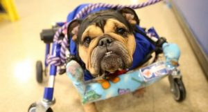 Dog Paralyzed After Being Kicked Now Has A Job