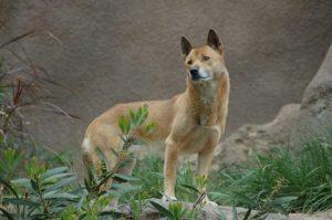 Wild Dog Species Believed to Be Extinct Has Been Rediscovered