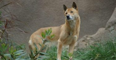 Wild Dog Species Believed to Be Extinct Has Been Rediscovered