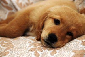 Circovirus in Dogs