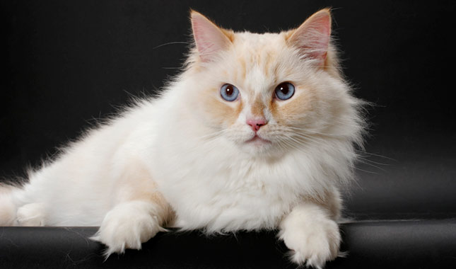 Cat Breeds Which Love to Snuggle
