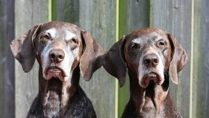 Senior Dogs and Incontinence