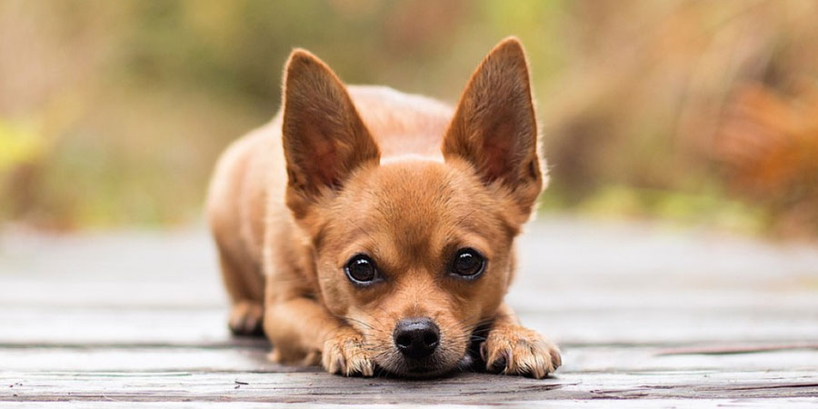 Top 10 Names For Chihuahuas