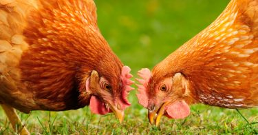 What Do Chickens Eat In The Wild