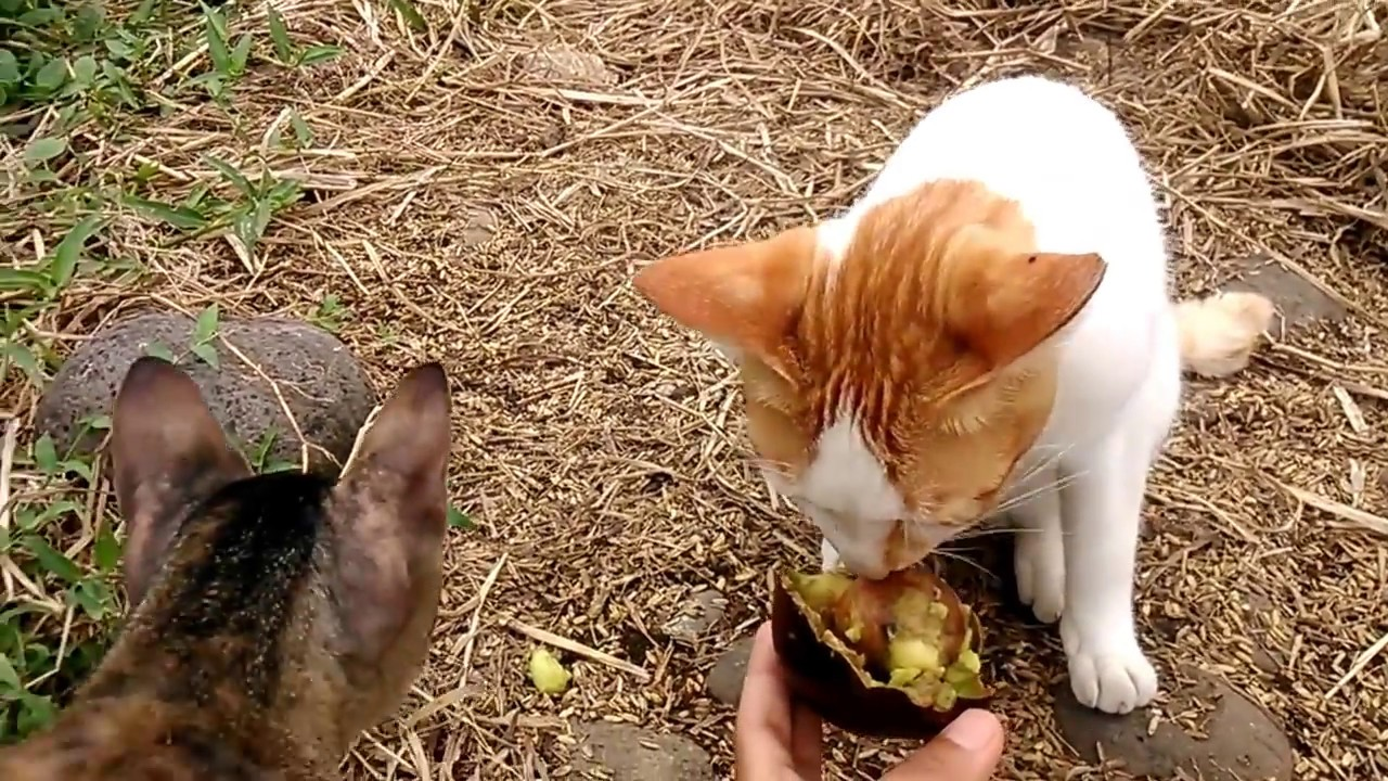 Can Cats Eat Avocado