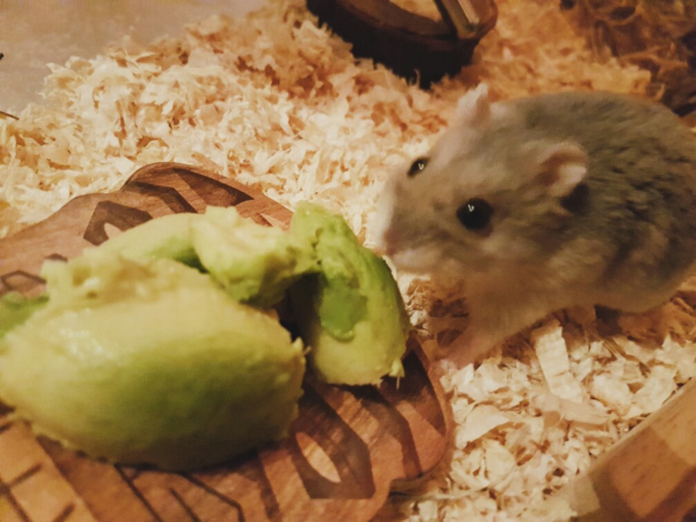 Can Hamsters Eat Avocado