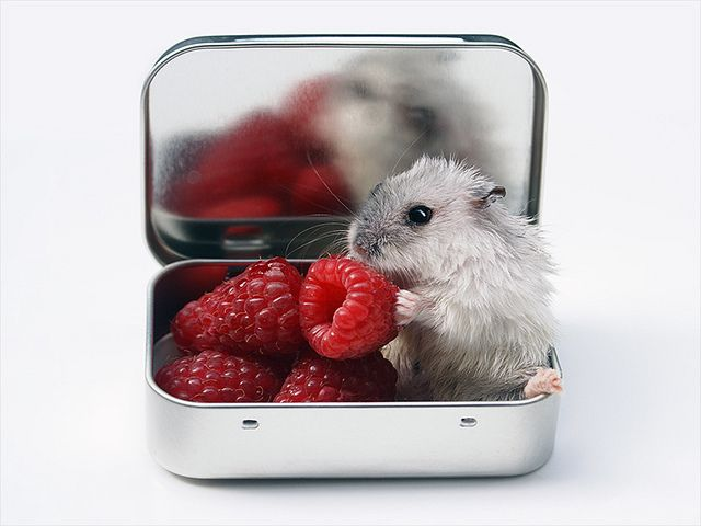 Can Hamsters Eat Raspberries