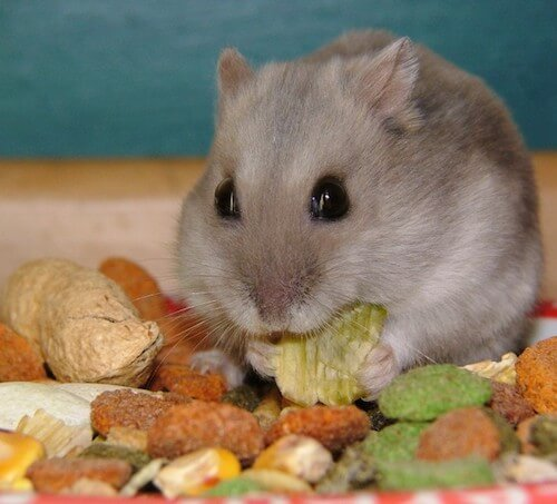 Can Hamsters Eat Walnuts